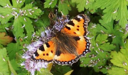 Kleine Vos vlinder – Foto: ©Louis Fraanje