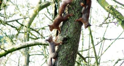 De jonge eekhoorns hebben geregeld speelkwartier.
