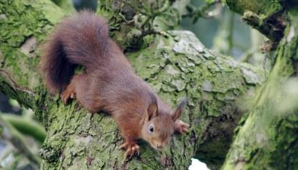 Twee van de vier jonge eekhoorns zijn roodbruin van kleur. - Foto: ©Gerrit de Graaff