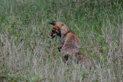vos door het natte gras (– Foto: ©Louis Fraanje