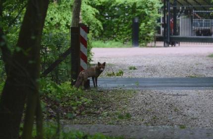 de vos keek nog eens achterom – Foto: ©Louis Fraanje