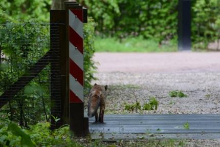 heel rustig wandelde hij er over heen (– Foto: ©Louis Fraanje