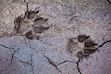 Pootafdrukken van een wolf