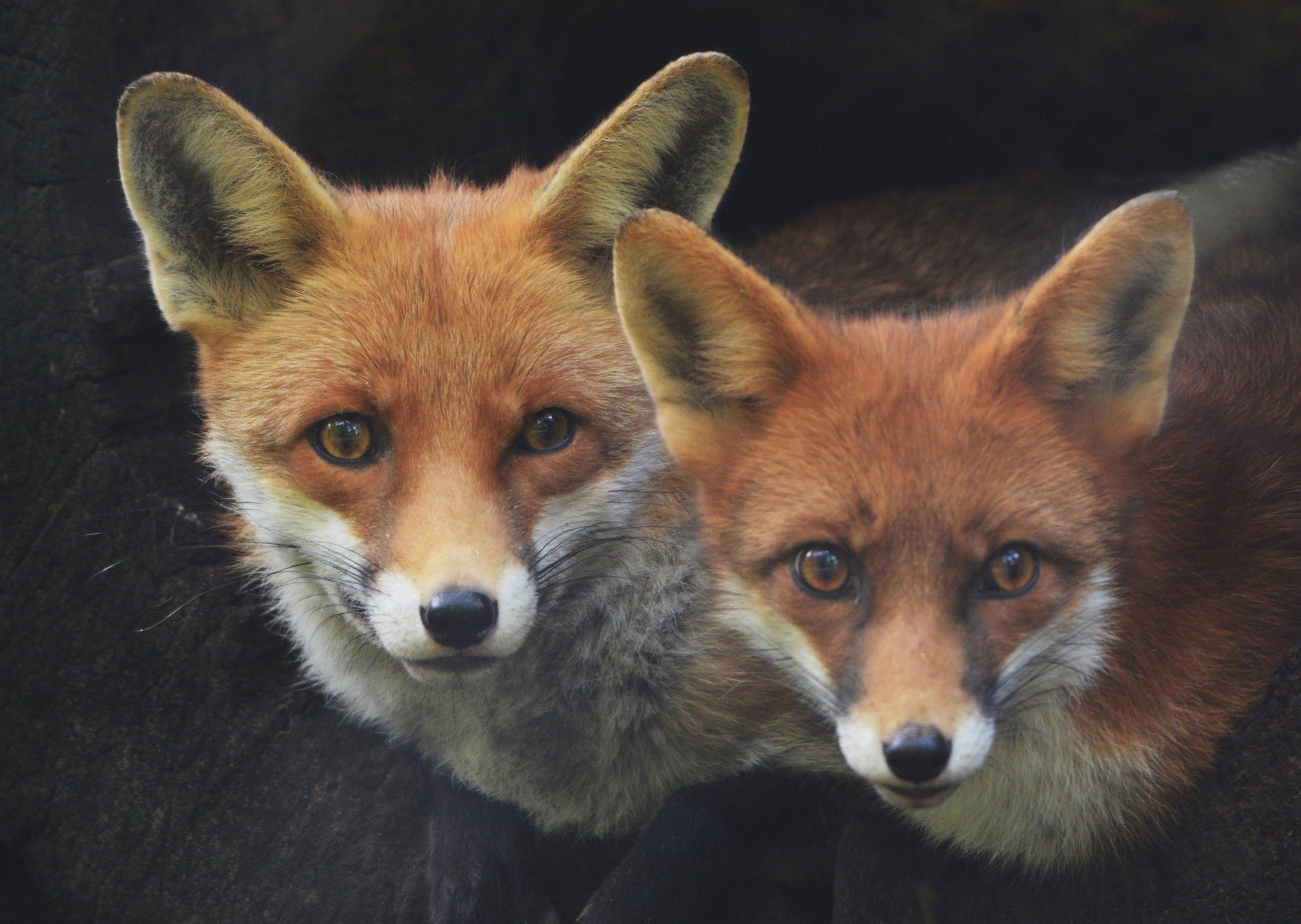 Twee vossen op een houtstapel - Foto: ©Louis Fraanje