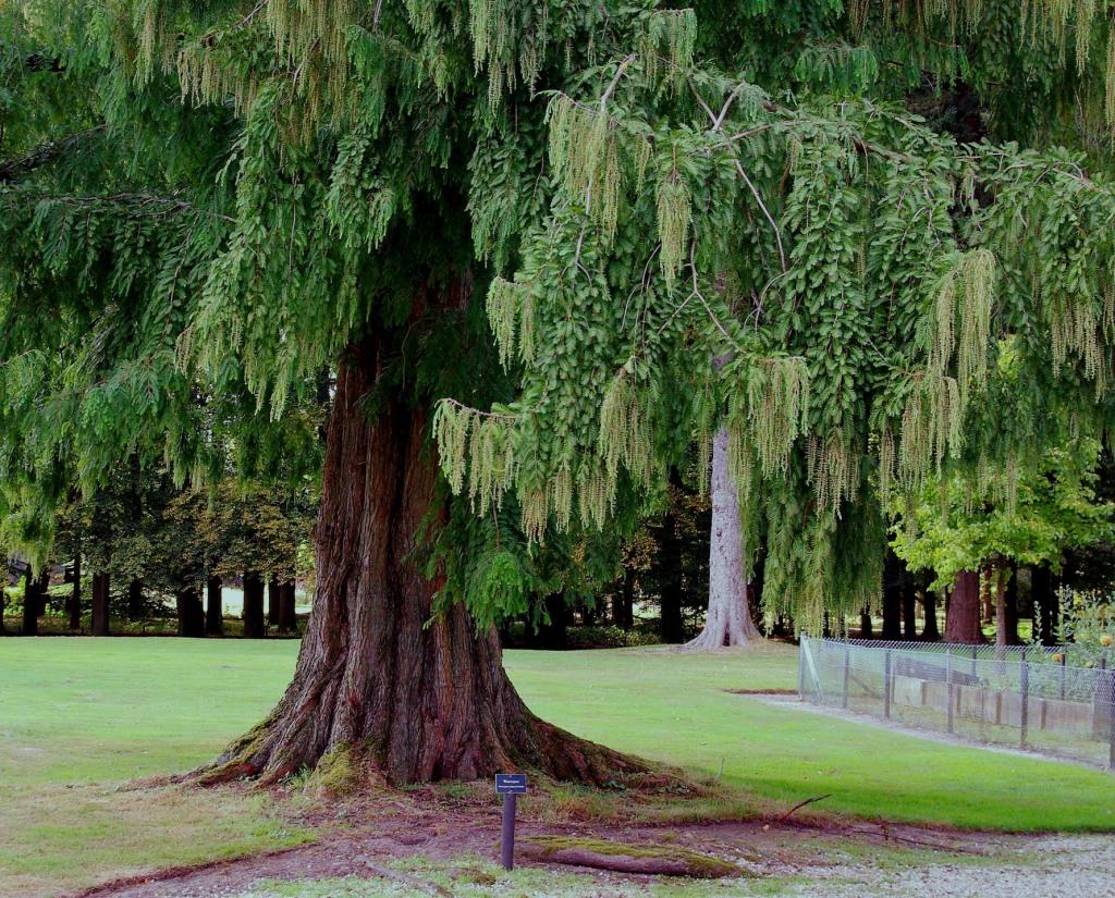 bk41natsequoia2