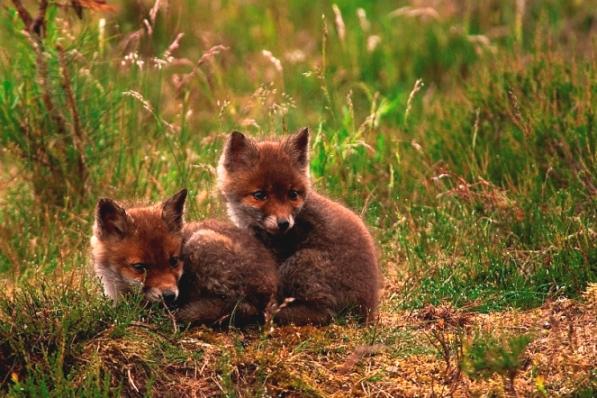 HRT 003. jonge vosjes, 22-mei-2007 Veluwe. - kopie