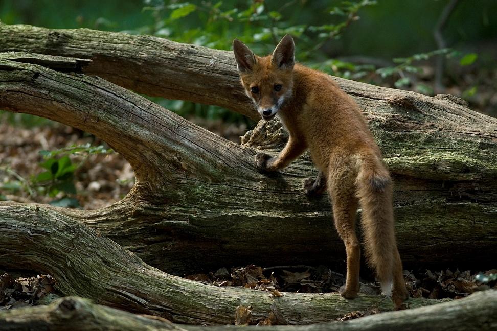 Ton, Hof te Dieren, jonge vos - kopie