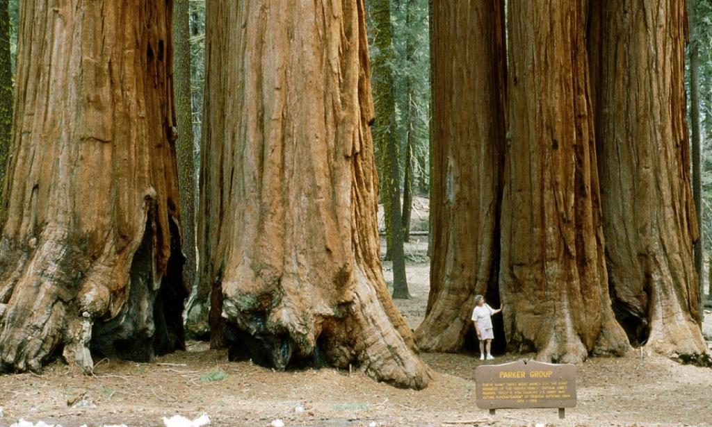 bk1natsequoia2 - kopie
