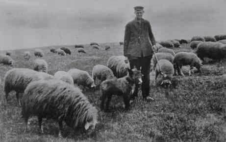 willem_en_schapen
