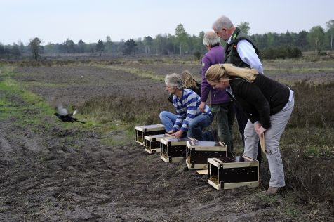 In april 2013 werden nog Zweedse korhoenders losgelaten op de Sallandse Heuvelrug foto Roel Hoeve