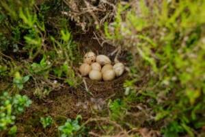 Niet uitgekomen korhoenlegsel. Bij vogels is een afgenomen uikomstpercentage van eieren een belangrijke indicatie voor inteeltproblemen. foto Hugh Jansman