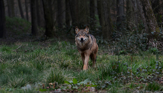 Wolf in Duitsland LF