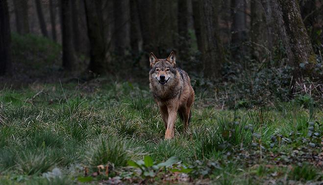 Wolf in Duitsland LF