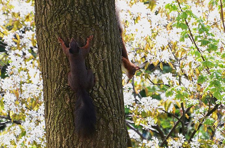 1 - DC_7303 - kopie twee eekhoorns in boom