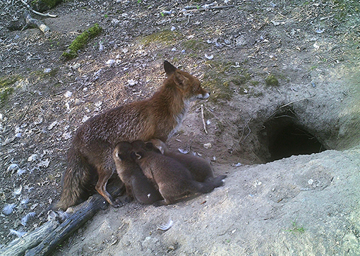 1- IMAG0032-bw - kopieZoogtijd voor de jonge vossen - Foto: Dorine Gijlstra- Kersten