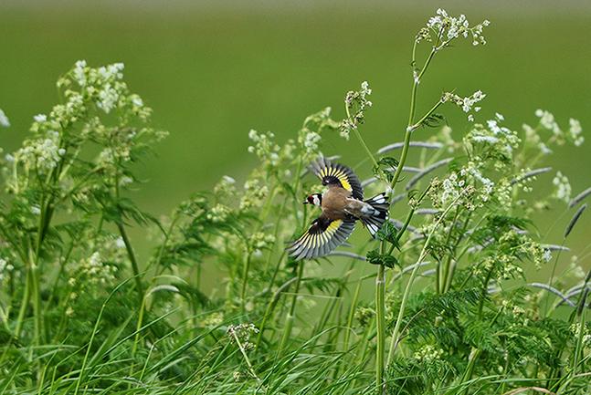 DSC_3556 - kopie-kleinWat een kleurenpracht als deze vogel zijn vleugels uitspreid - Foto: ©Louis Fraanje