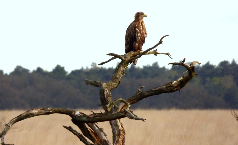 De grote vogel bleek bij nader inzien een zeearend - Foto: ©Janny Gomans