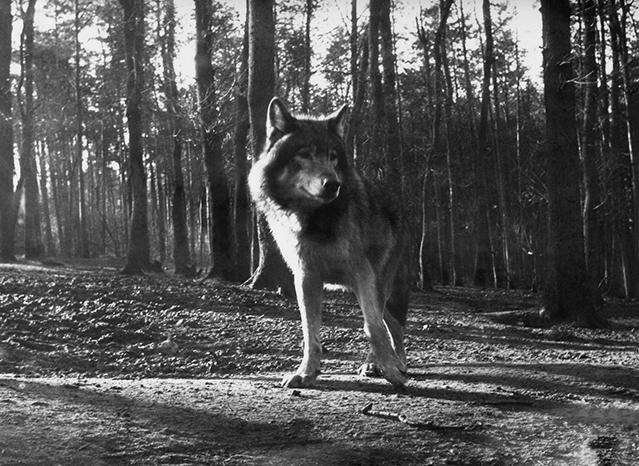 wolf-v-haaften - kopie