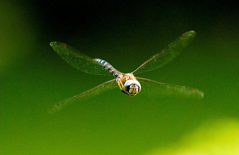 Libelle front, 14-aug-2015 nabij Westervoort