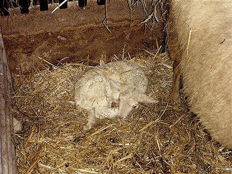 2015-12-27 Christien met pasgeboren lam (01)-5