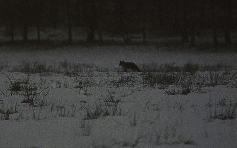 Vos in de avond sneeuw scherp - kopie