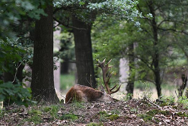 1 - LFB_3553Het hert Hubertus in een diepe slaap - Foto: Louis Fraanje