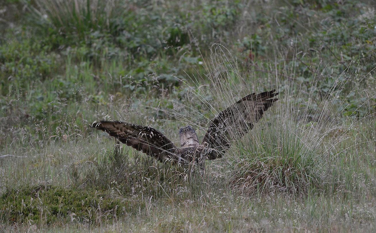 DC_0581Opeens slaat de wespendief zijn vleugels wijd uit en duikt op een prooi - Foto: Louis Fraanje