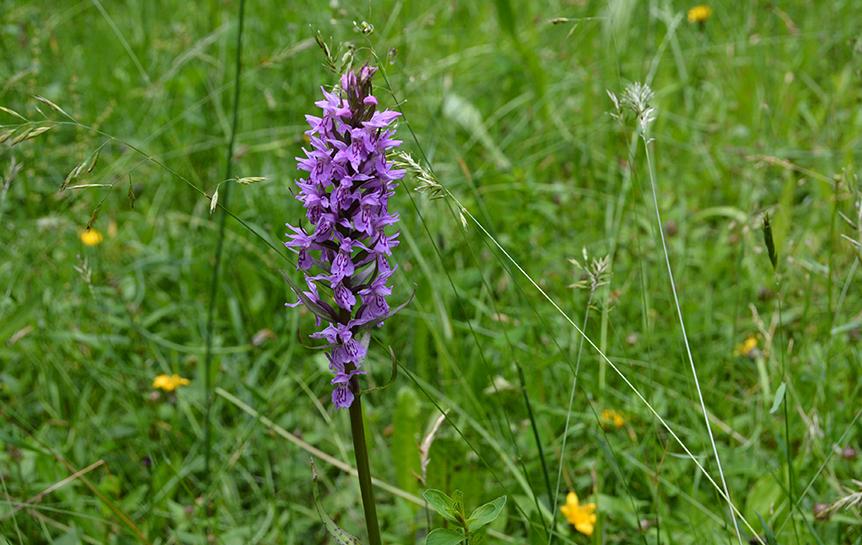 Gevlekte orchis (Dactylorhiza maculata) in het grasland - Foto: ©Louis Fraanje