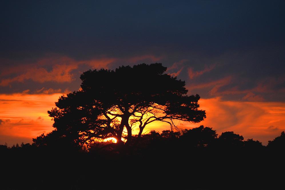Een verwaaide dennenboom in de avond op de Veluwe - Foto: ©Louis Fraanje
