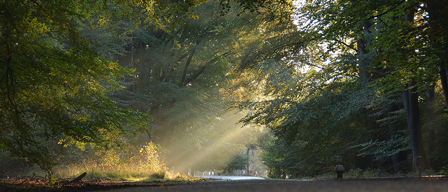 Zonlicht dringt door de oude beuken van het Veluwse bos - Foto: Fransien Fraanje