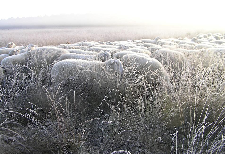 De schapen weten ook niet hoe ze het ermee hebben - Foto: Christien Mouw