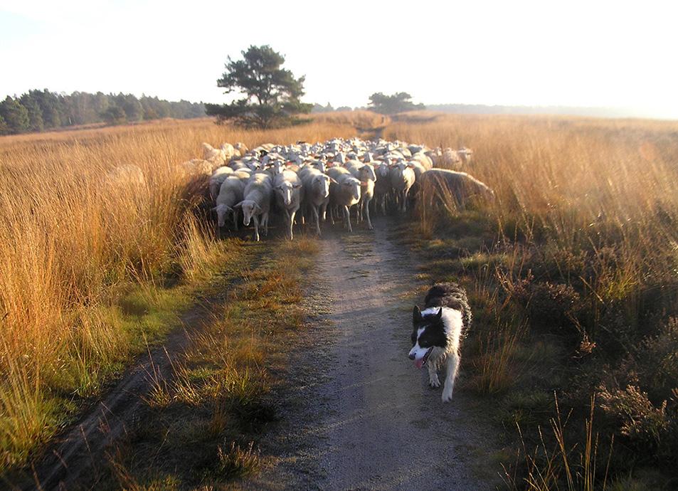 Parmantig loopt Joss voor de kudde uit - Foto: Christien Mouw