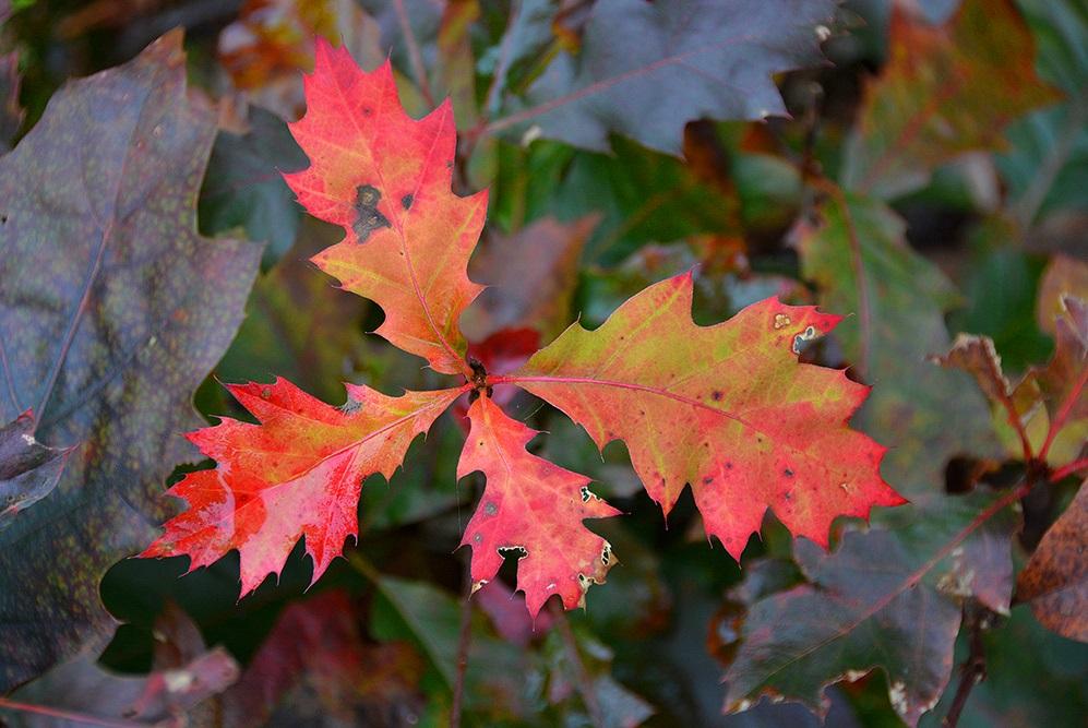 Het blad van de Amerikaanse eik is vaak heel kleurrijk - Foto: ©Louis Fraanje