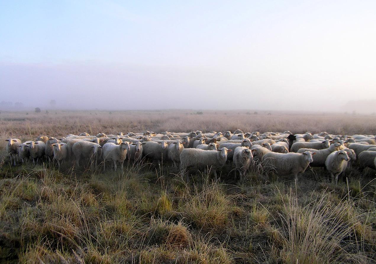 De kudde schapen op de heide bij Elspeet - Foto: Christien Mouw