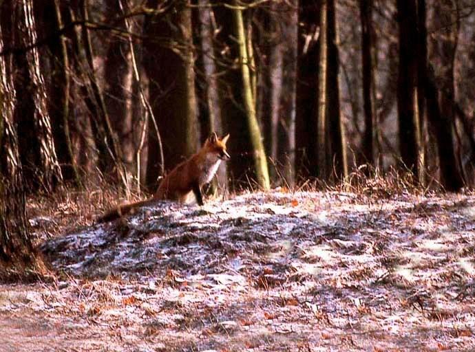 408-kopieAan de bosrand zien we een vos zitten, die op jacht is - Foto: ©Louis Fraanje
