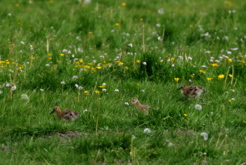 dc_5055Hoe bloemrijker het weiland, des te beter voor de Grutto - Foto: ©Louis Fraanje