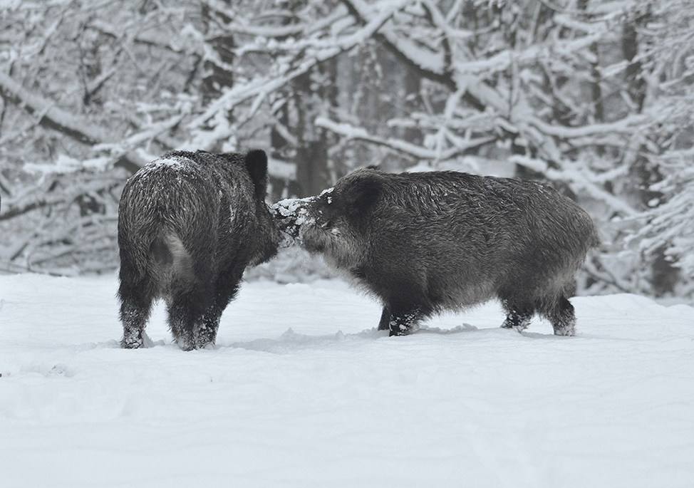 Het ruwe spektakel in de sneeuw - Foto: ©Louis Fraanje