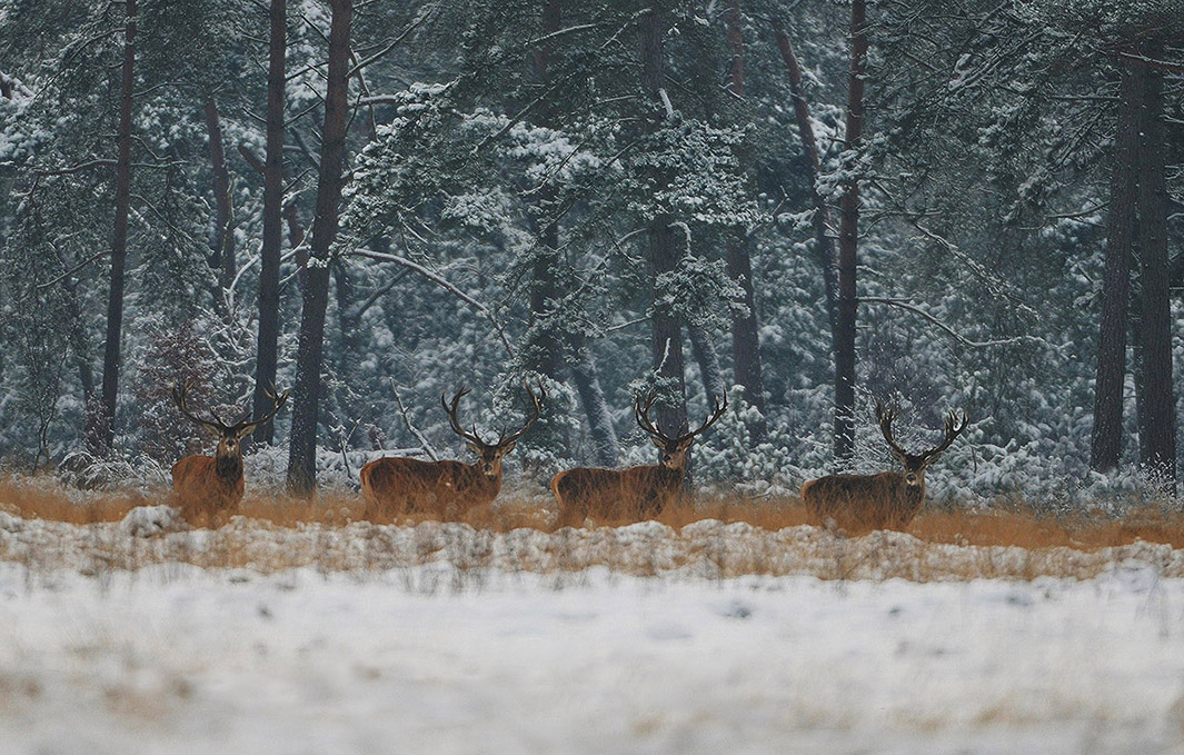 kerst-2013-dc_4033-bwb-kleinEdelherten in het winterse landschap van de Hoge Veluwe - Foto: ©Louis Fraanje