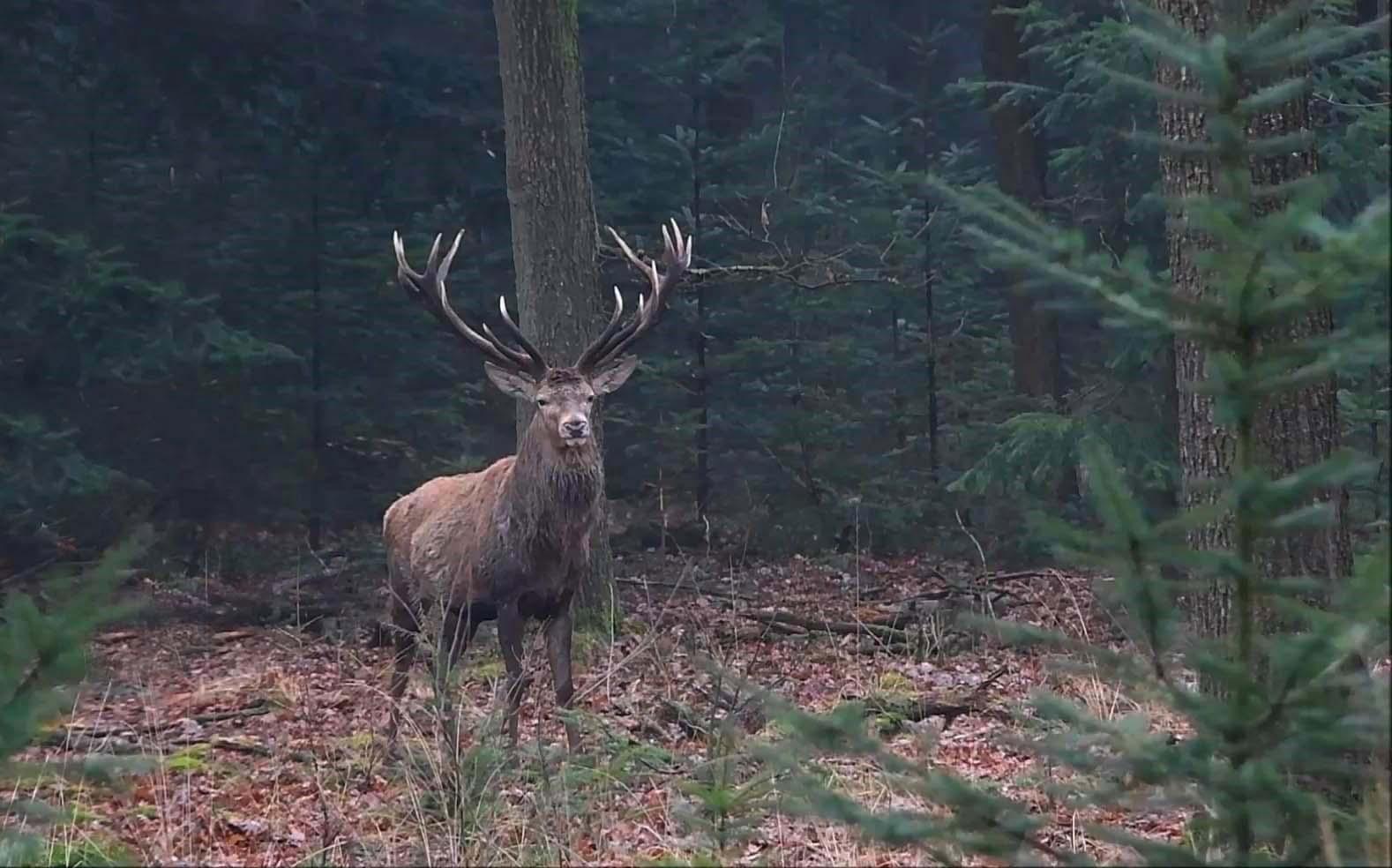 mijnstander-filmHubertus is en blijft een bijzonder hert, dat valt niet te ontkennen - Foto: ©Louis Fraanje
