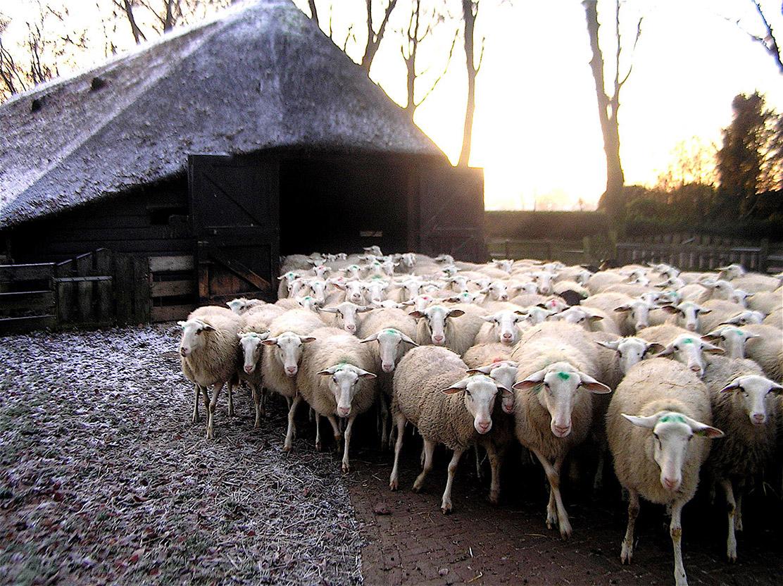 De kudde komt de kooi uit lopen - Foto: ©Christien Mouw