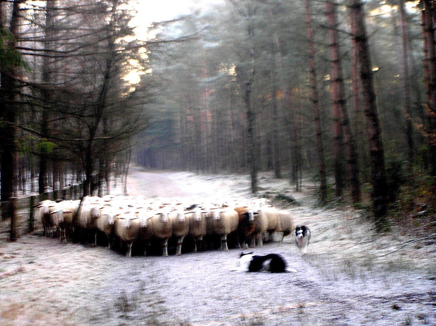 De schaapskudde met de twee honden op het bospad - Foto: ©Christien Mouw