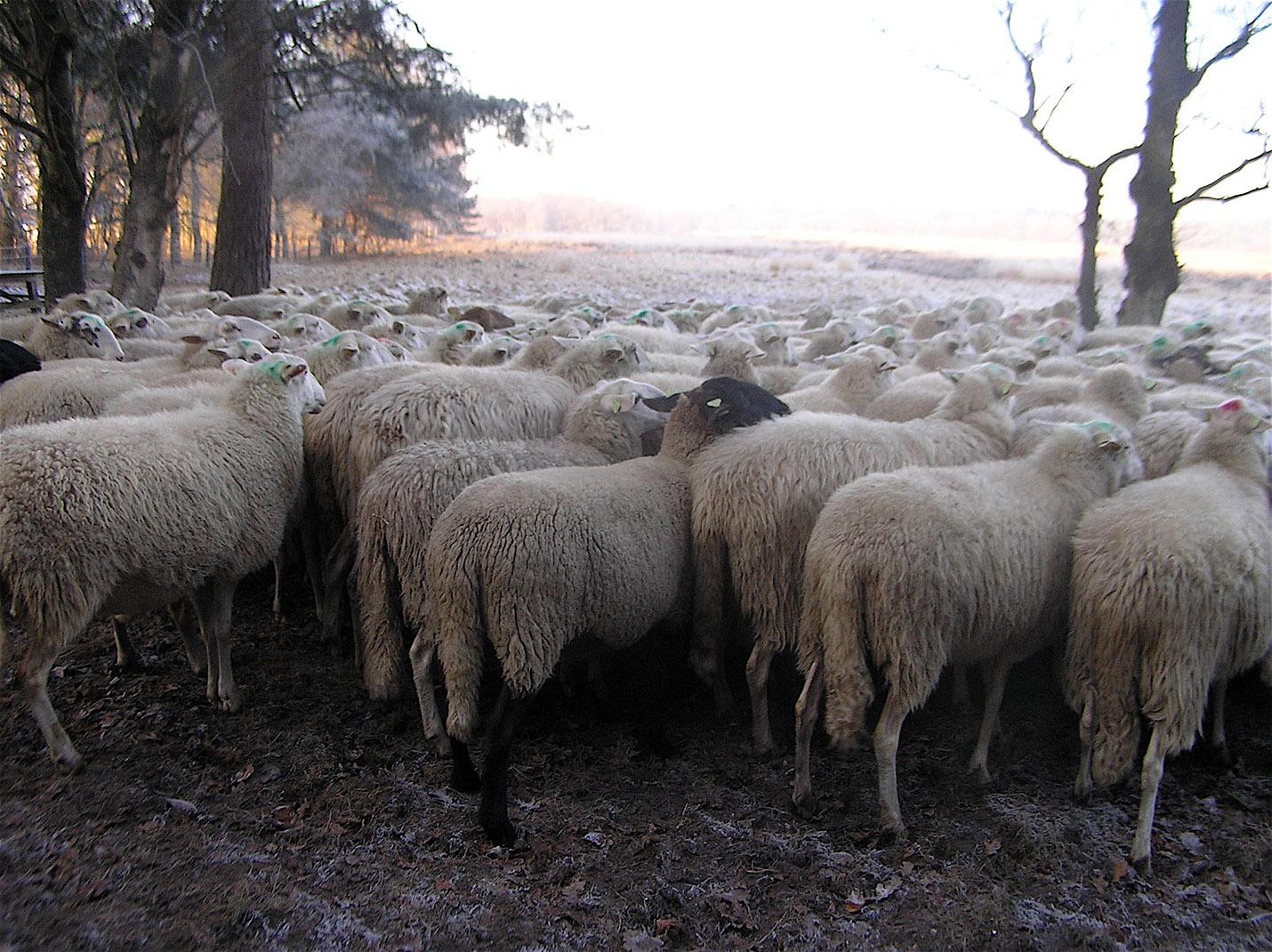 De schapen omringd door een winters landschap - Foto: ©Christien Mouw