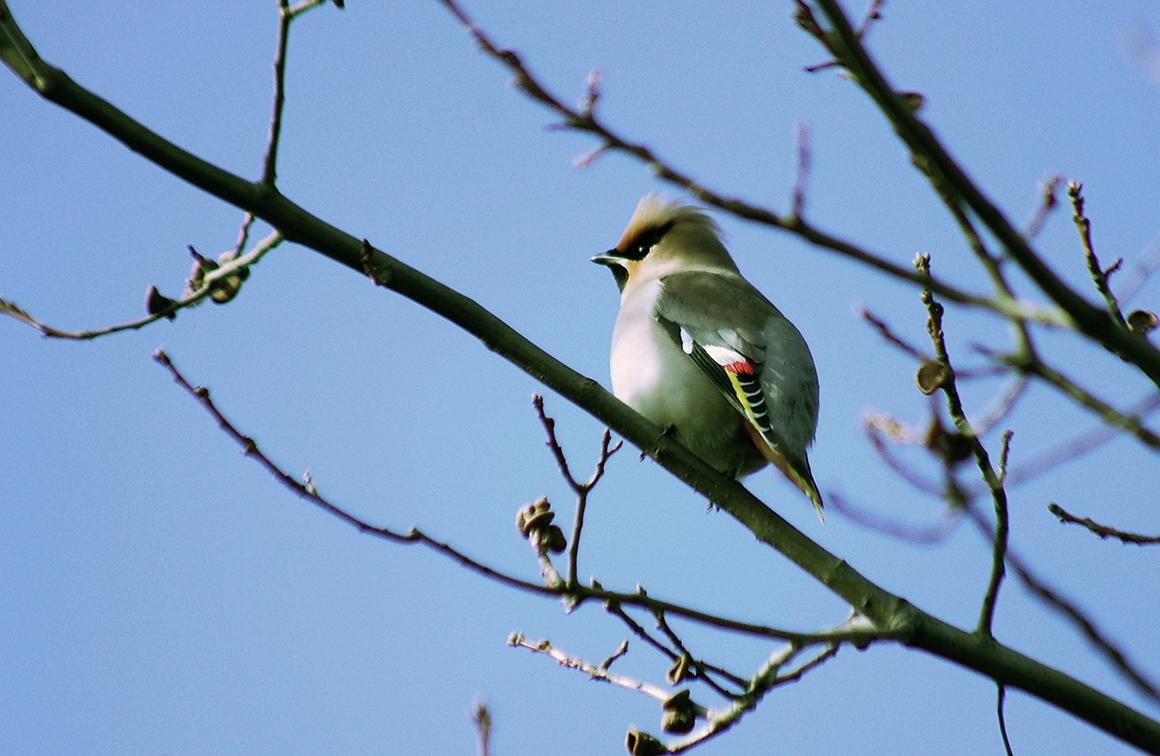 bk49natpestvogel1