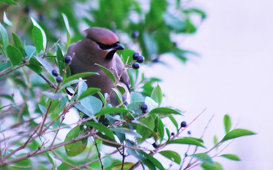 bk49natpestvogel2