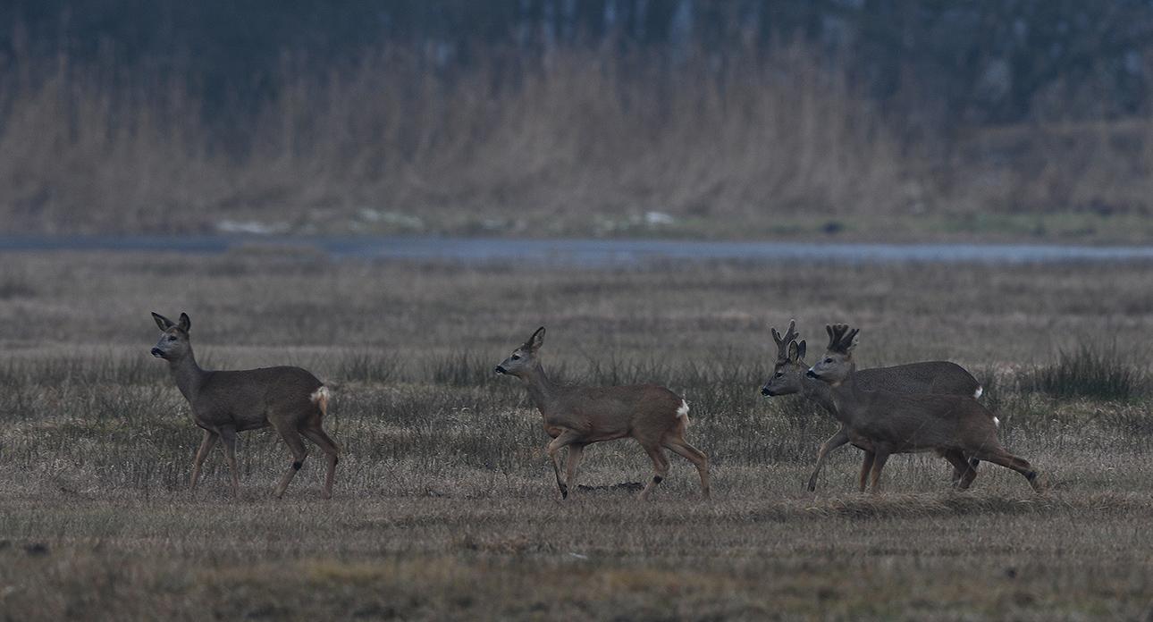 De twee bokken lopen nu gewoon samen op door het open veld – Foto: ©Louis Fraanje