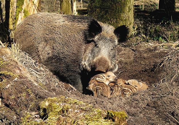 Wilde zwijnen - Zeug met biggen op de Veluwe - Foto: ©Louis Fraanje