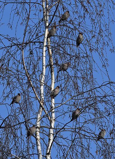 In de berk zaten negen pestvogels - Foto: ©Louis Fraanje
