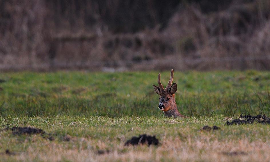 Dan ontdek ik een bruine kop boven de grasrand, het is Castor - Foto: ©Louis Fraanje