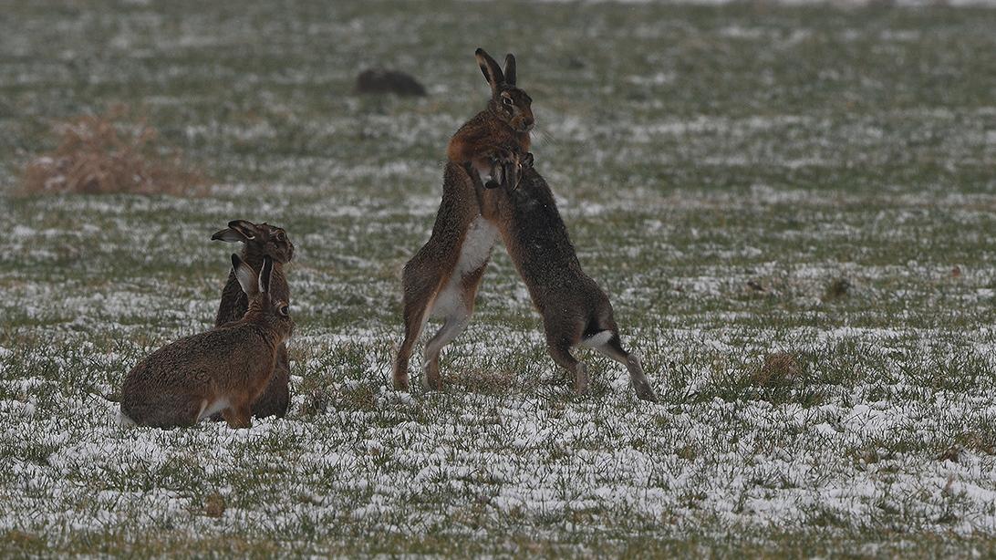 Twee hazen zitten het gevecht vanaf de zijlijn gade te slaan - Foto: ©Louis Fraanje