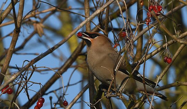 De pestvogels laten zich de bessen van de Gelderse Roos goed smaken - Foto: ©Louis Fraanje